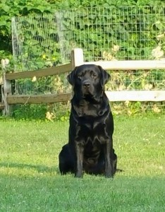 clearwater labradors 2-min