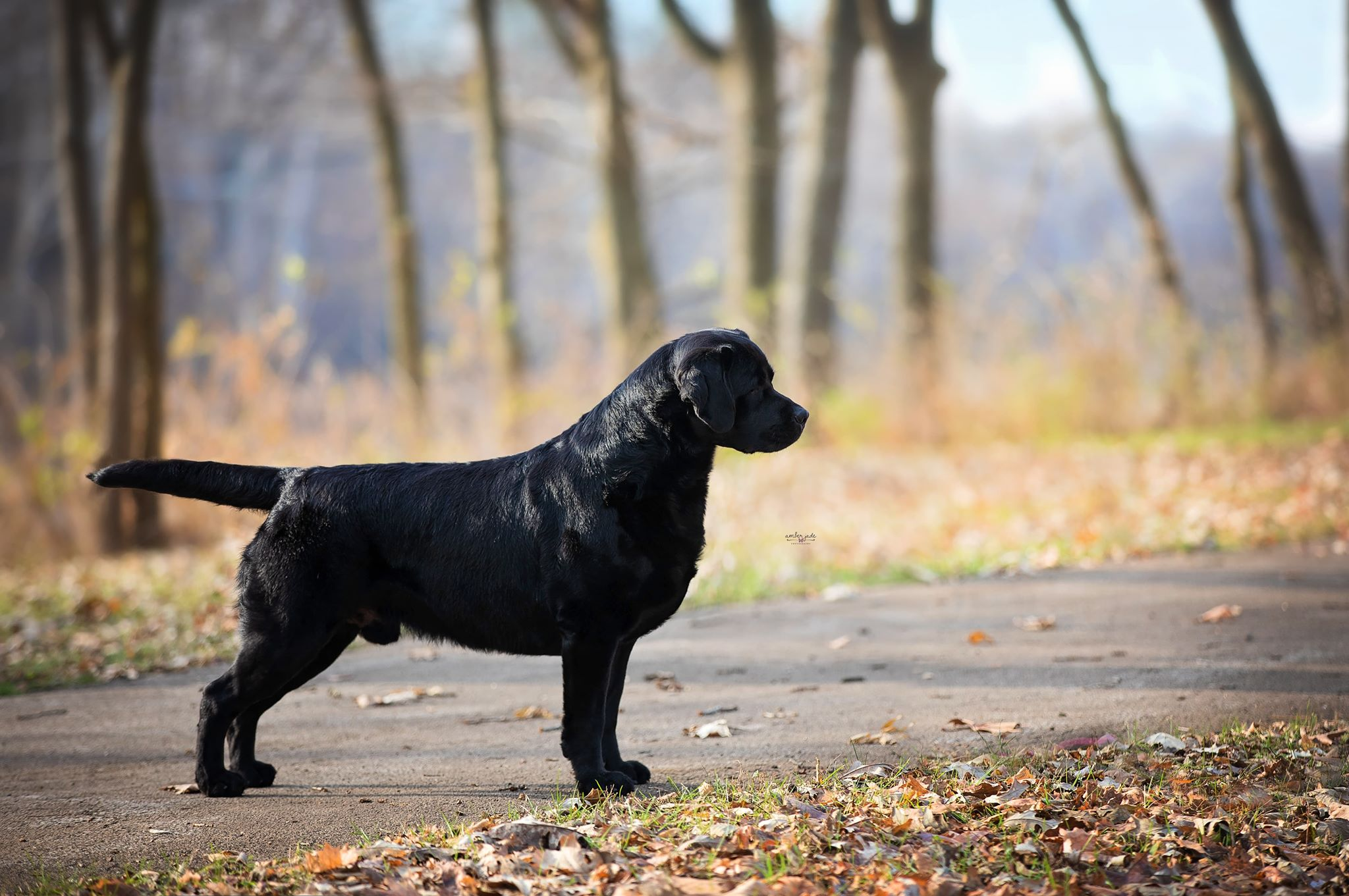 Stoli - Clearwater Labradors