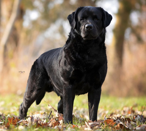 Clearwater Labradors - Dog Breeding in Tinley Park, Illinois
